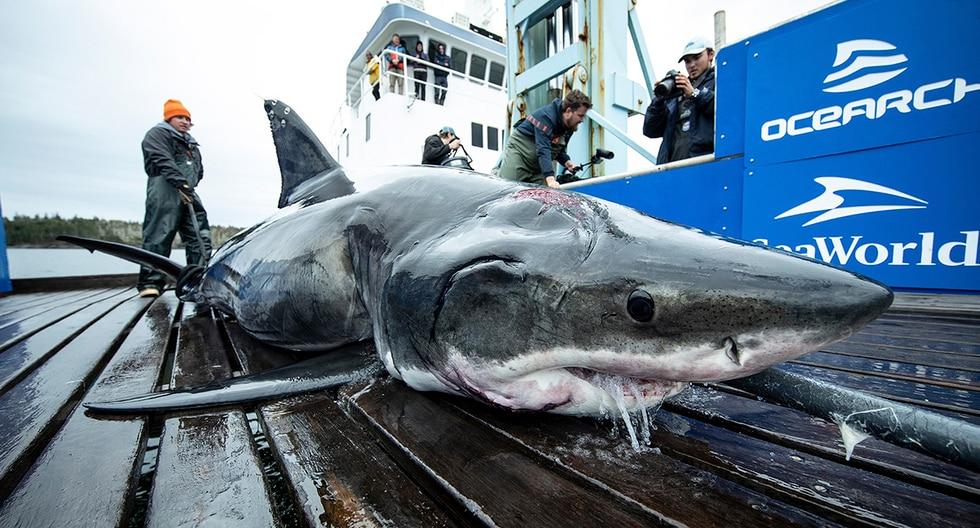 Vimy, el enorme tiburón blanco de más de 500 kilos de peso que fue mordido por otro aún más grande. (Ocearch)