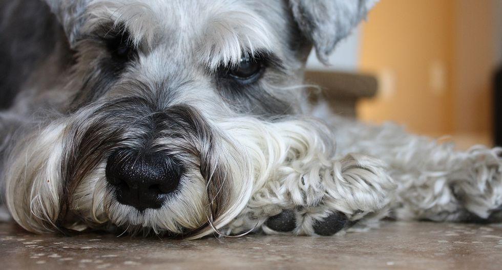 La trágica enfermedad que padece Lola, su schnauzer miniatura de 12 años, afecta sus pulmones y corazón. (Foto: Pixabay/ Referencial)