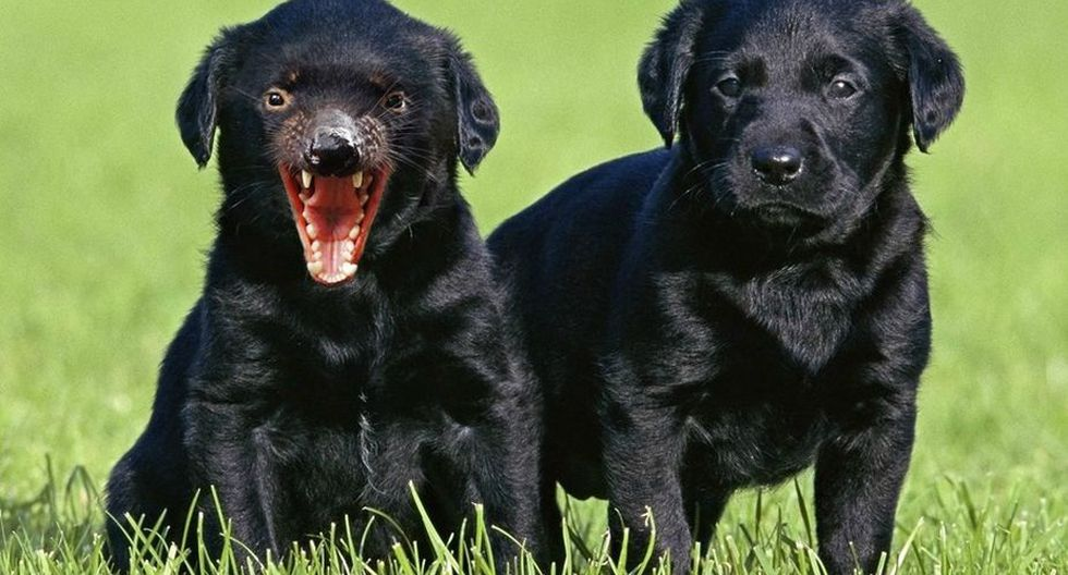 Conozcan al labrador de Tazmania. (Foto: Mashable)