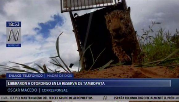 El otorongo fue liberado en su hábitat natural. (Canal N)