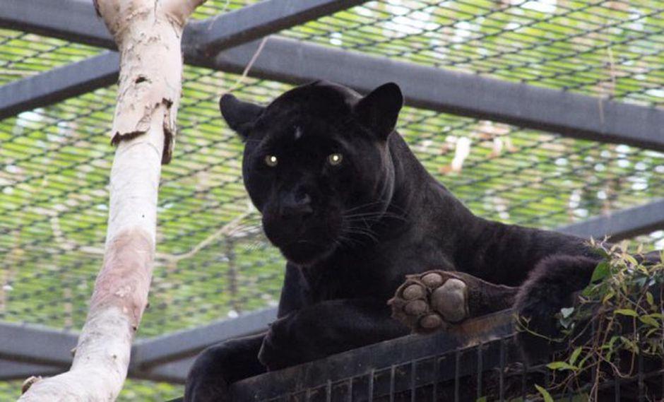 Jaguar ataca a mujer que saltó la valla en zoo para hacerse una selfie