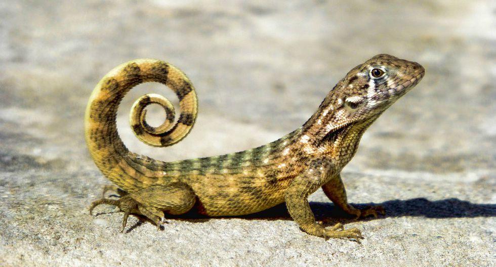 Una lagartija de cola rizada tuvo que ser sacrificada tras presentar un grave caso de estreñimiento que ha sido descrito por especialistas como el peor encontrado en un animal. (Foto: Referencial/Pixabay)