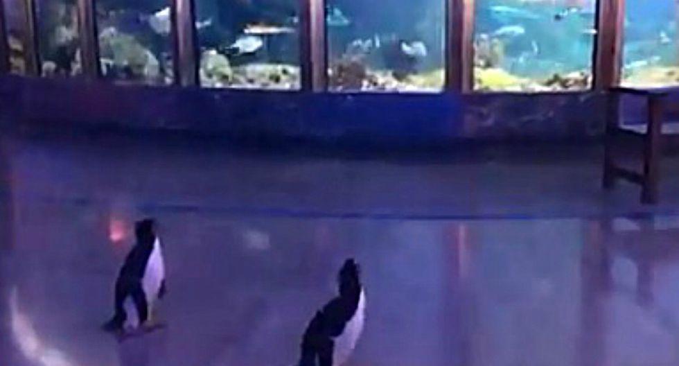 Los pingüinos de un acuario fueron los principales beneficiados por la ausencia de personas en las calles. Ellos pudieron conocer los distintos pabellones del recinto. (Foto: Captura)
