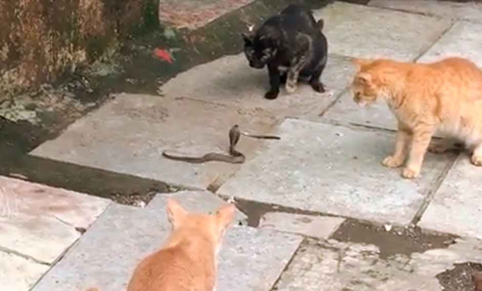 El duelo de una cobra rodeada por cuatro gatos se hace viral en Facebook. (Instagram |neilnitinmukesh)