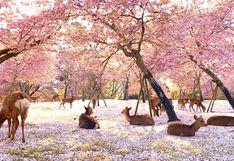 Japón sin turistas: ciervos son captados descansando bajo cerezos
