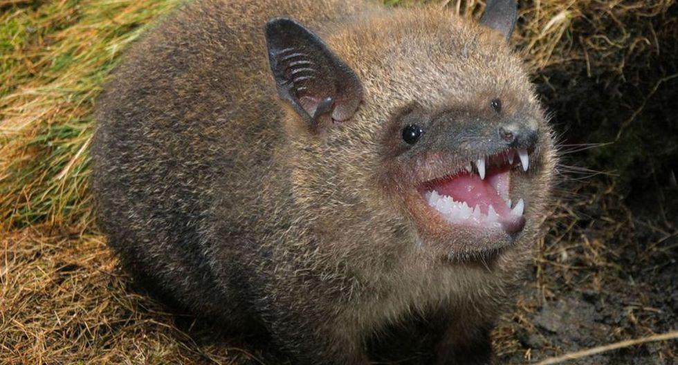 Un marsupial mezclado con murciélago. (Foto: Mashable)