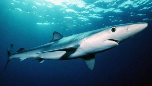 Tiburones en peligro. En los últimos 50 años su población ha descendido de forma alarmante. (Foto: Shutterstock)