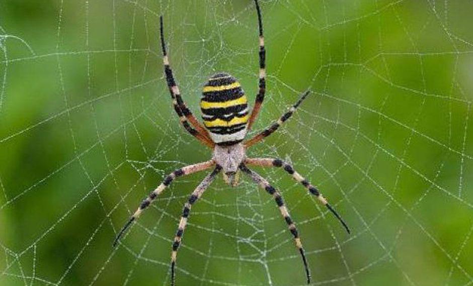 Arañas son esclavizadas por avispas.