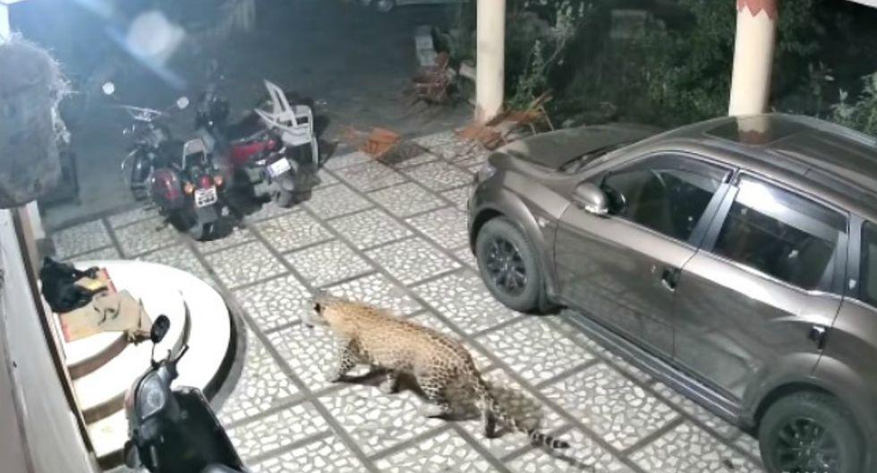 Se volvió viral en YouTube el instante en que un leopardo ataca a un perro que dormía plácidamente en la calle. (Foto: Captura)