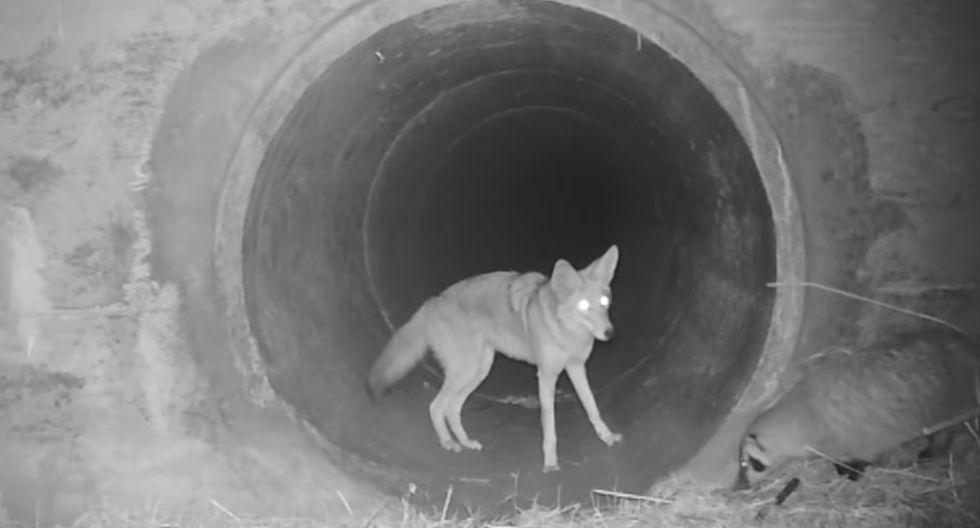 Un coyote y un tejón se unen para atravesar un oscuro túnel bajo una autopista en California. (YouTube | POST)