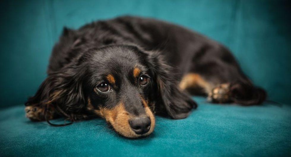 ¿Qué debo hacer frente a una convulsión canina?. (Foto: Pixabay)