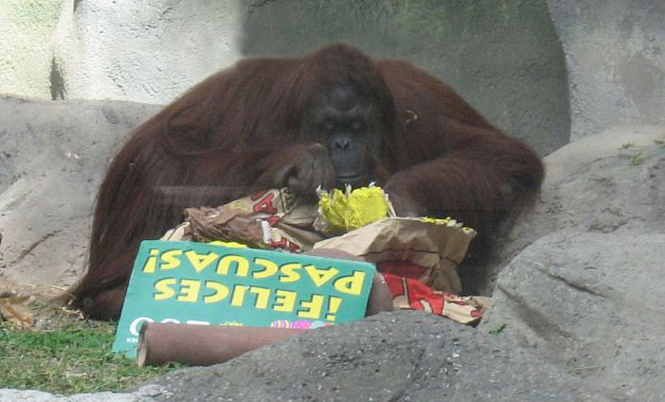La orangután Sandra (Foto: Los Andes)