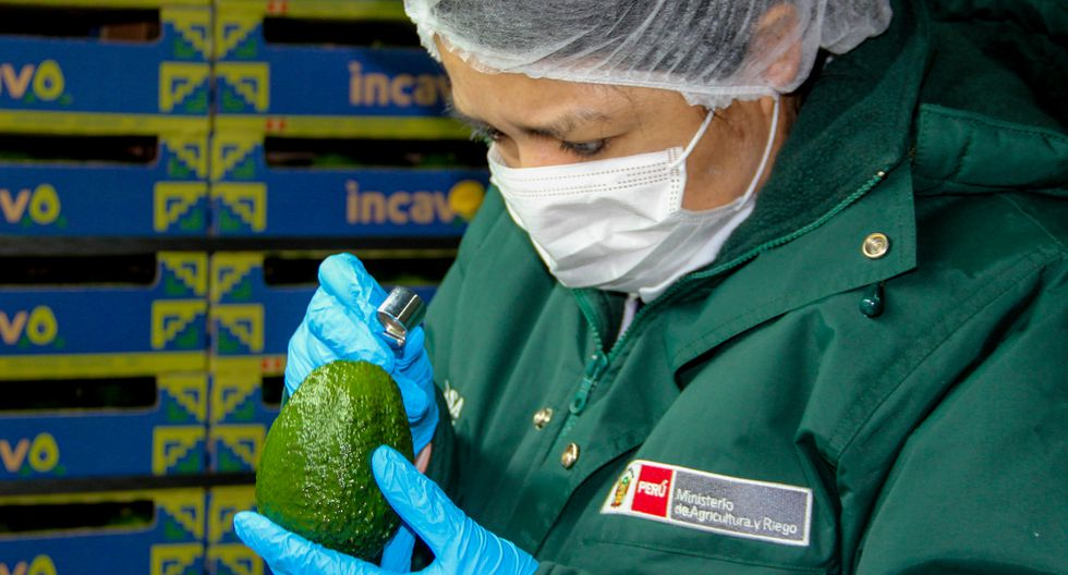 Las exportaciones de palta hass se han realizado cumpliendo los protocolos acordados entre ambos países. (Foto: Senasa)