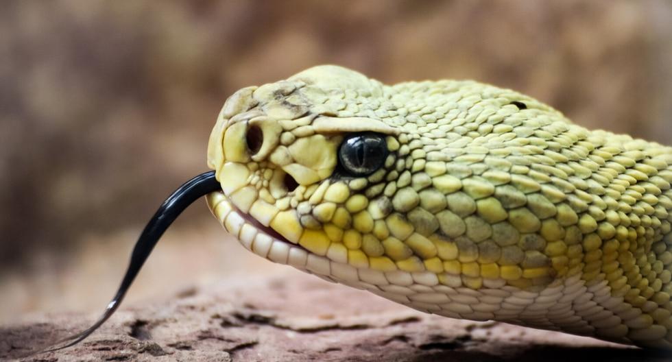 ¿Sabías que las serpientes necesitan renovar su piel periódicamente para mantenerla en las mejores condiciones? (Foto: Pixabay/Referencial)