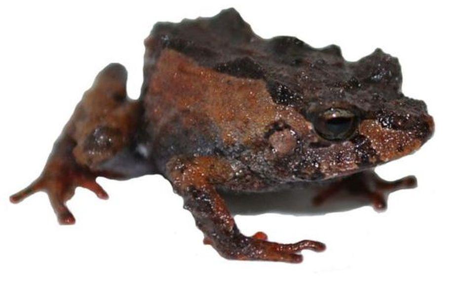 Ecuador: descubren cuatro nuevas especies de ranas en el Parque Nacional Sangay