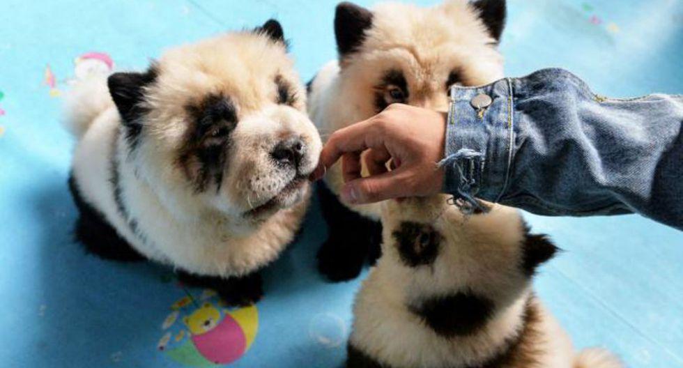 Debate en Facebook y otras redes sociales vienen generando las imágenes de perros teñidos para que parezcan pandas. (Foto: AFP)
