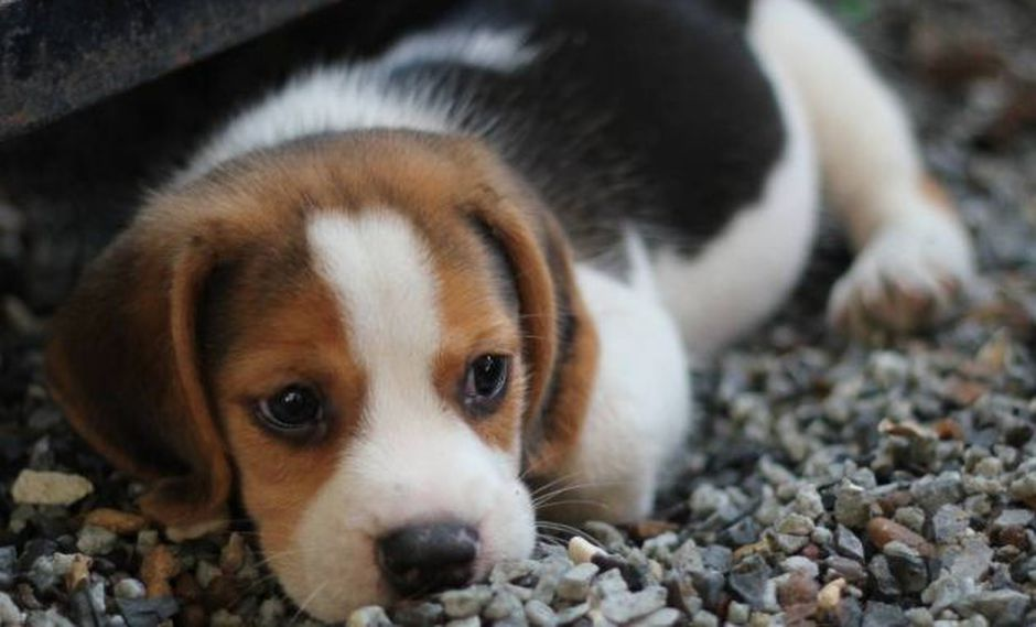 Perros podrían portar un virus muy peligroso para los seres humanos