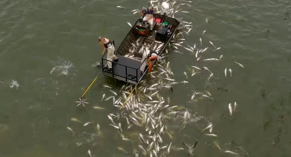 Electrocutaron a cientos de carpas asiáticas en un lago de Estados Unidos por el peligro que representaban. (Facebook)