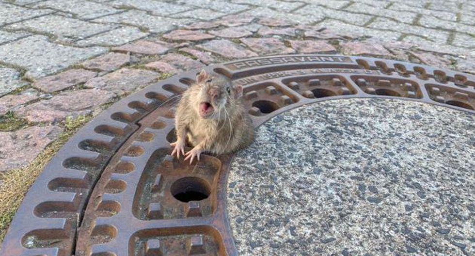 La rata se atascó en uno de los agujeros de la tapa del alcantarillado. (Foto: Berufstierrettung Rhein Neckar)