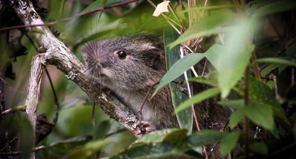 La rata de bambú habita en zonas subtropicales o tropicales húmedas. (SERNANP)