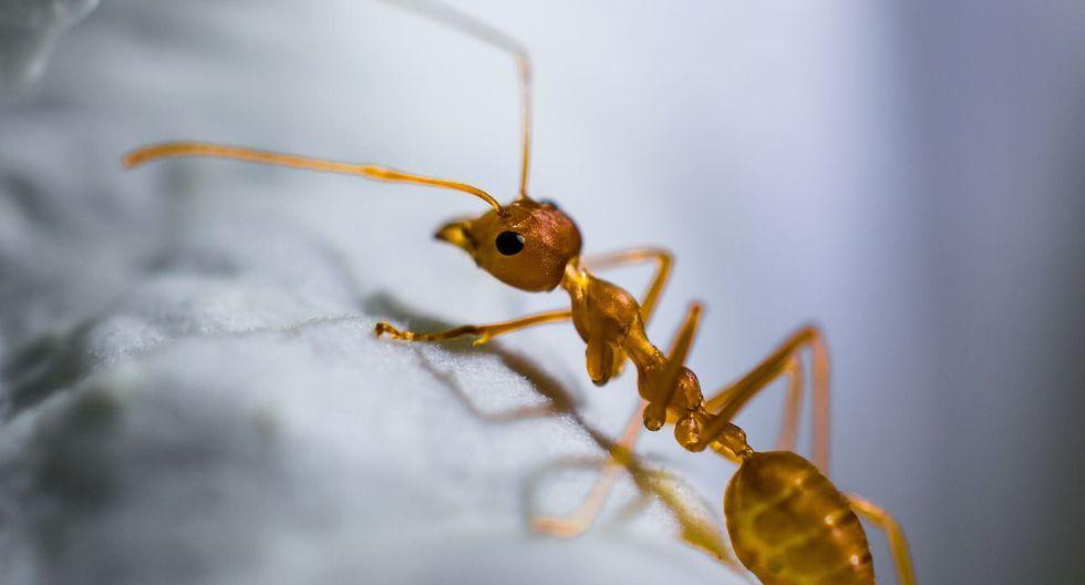 La hormiga parece tener domada a la mariquita. (Foto referencial: Pixabay)