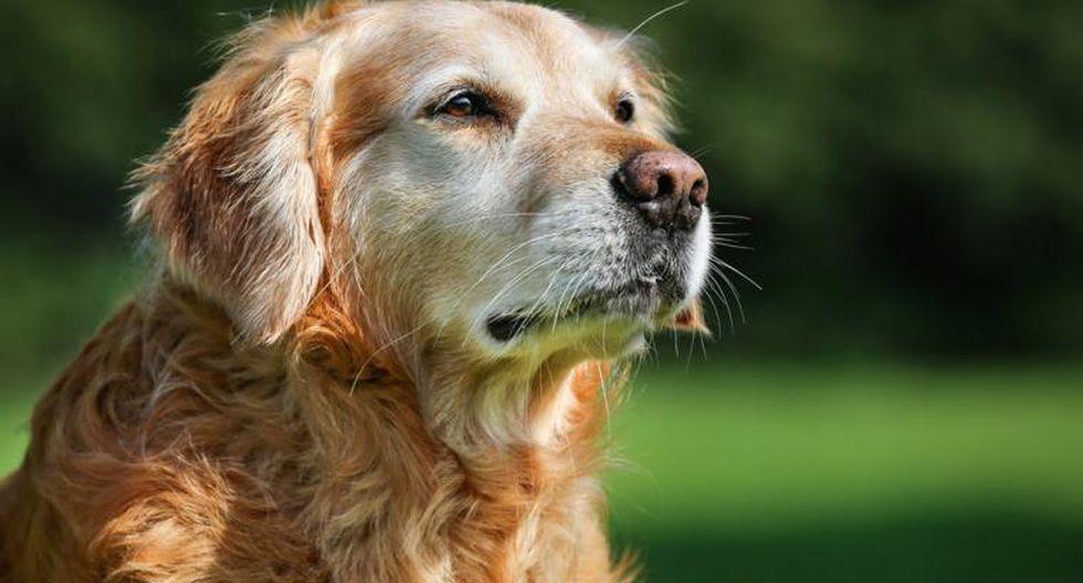 Un can senior requiere un mayor número de cuidados, entre ellos algunos nutrientes esenciales para afrontar los efectos del tiempo en su cuerpo (Foto: pixabay)
