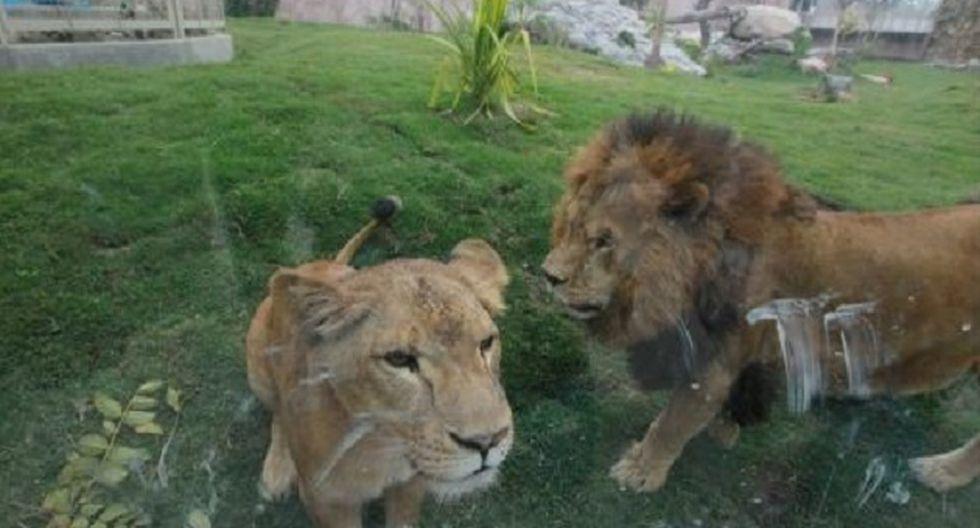 El Parque de las Leyendas indicó que se mató a un búfalo del parque para alimentar a otros animales, pero Serfor precisó que la saca es el sacrificio de un ejemplar por sobrepoblación o salud deteriorada. (Foto: USI)