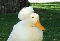 "Patos con ""peinado"" que cautivan redes sociales esconden terrible secreto"