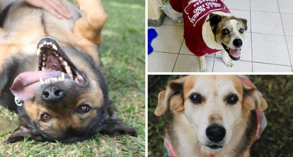 Los tres perros también se encuentran en búsqueda de un nuevo hogar. (Foto: Nukhan)