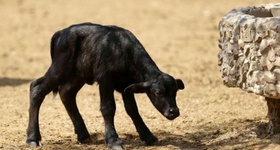 Bebé búfalo en el Parque de las Leyendas (Andina)