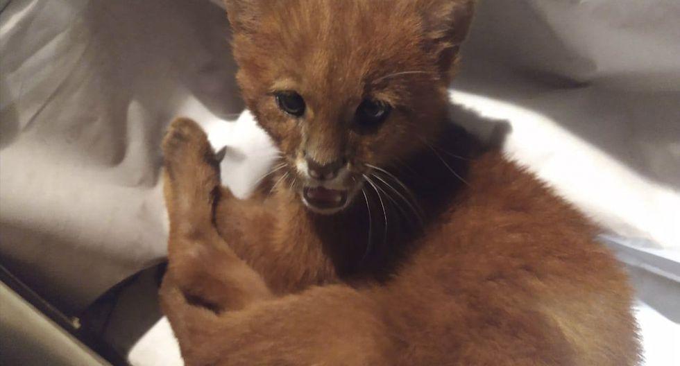 Lo crió durante semanas como un gato, pero en realidad era un puma salvaje. (Facebook | Fara)