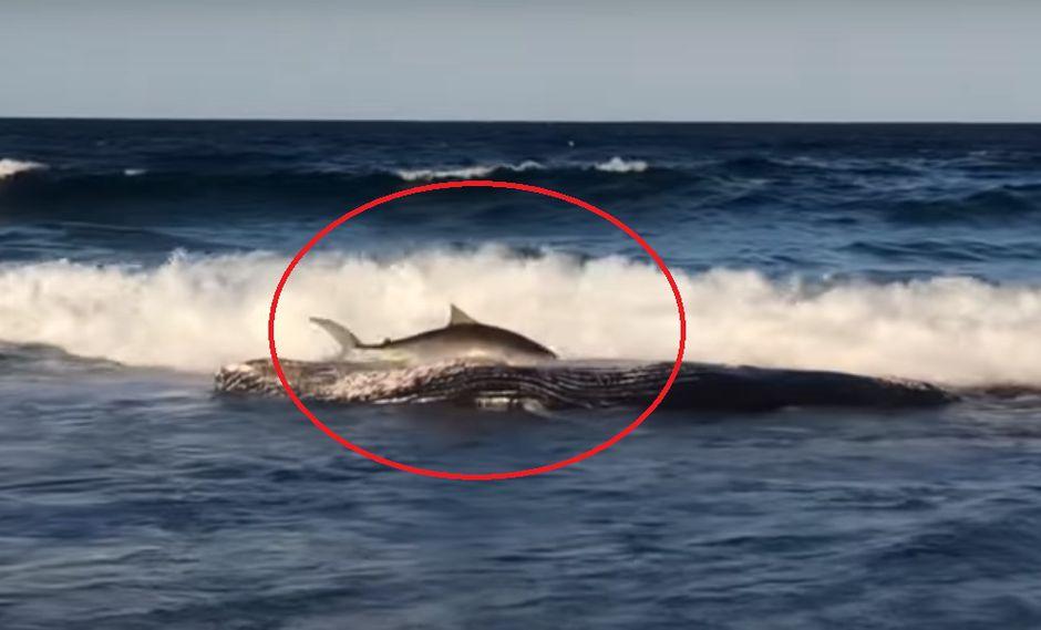 YouTube: Tiburón tigre nada hasta la orilla para comer los restos de una ballena varada | VIDEO