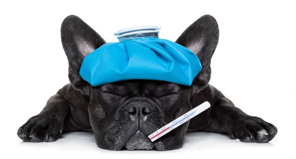 tratamiento para petequias en perros