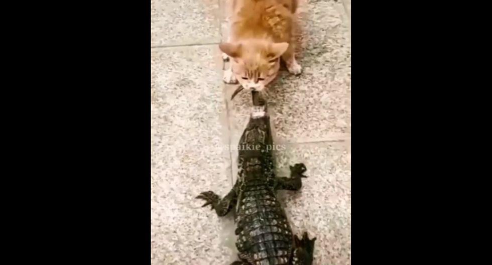 A pesar de que el reptil logrò arrebatarle la presa con sus colmillos, el gato insistió en repetidas veces. (Foto: Captura)