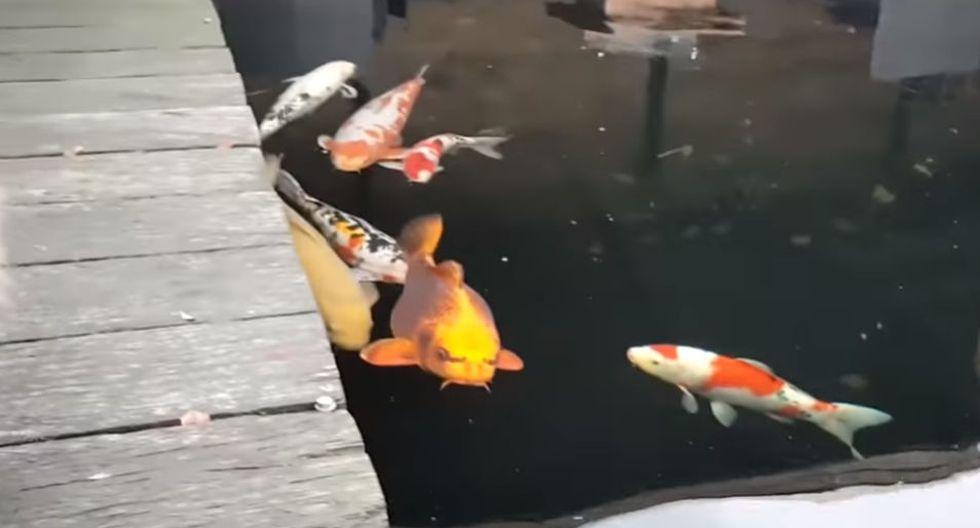 En el mismo video también se observa que dentro de ese estanque hay varios peces que tampoco se espantan al ver al felino. (YouTube: ViralHog)