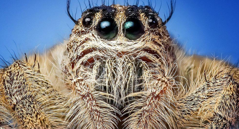 ste tipo de araña crece normalmente en los bosques húmedos del país y se caracteriza por poseer grandes sacos de veneno. (Foto: Pixabay/ Referencial)