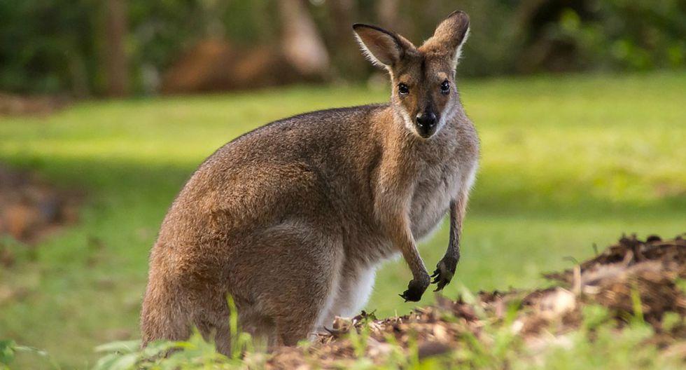 Un canguro fue con un niño para pedirle ayuda: este le dio una ducha entre las cenizas y el animal se lo agradeció. (Foto: Referencial/Pixabay)